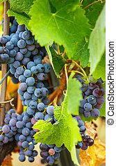 bleu, vignoble, cabernet, raisins