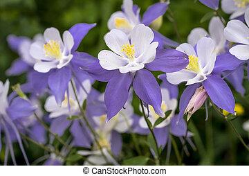 bleu, wildflower, ancolie, fleurir