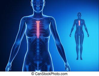 bleu, x--ray, sternum, balayage os
