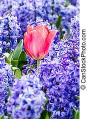 bleubells, tulipe rouge, brin
