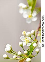 blid, vit, vår blommar