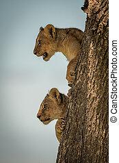 blik, boompje, leeuw, jong, romp, uit