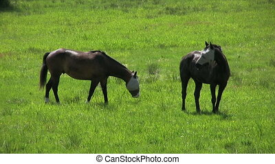 Blind Horses Grazing In A Field - A close up shot of two...