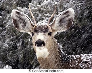 Blizzard Buck - Male mule deer in a Colorado snowstorm