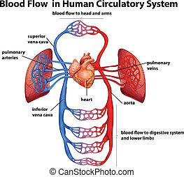 blod, flöde, in, mänsklig, cirkulations- system