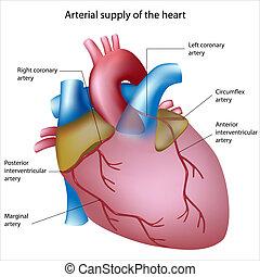blod, forråd, til, hjertet