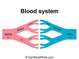 blod, omlopp, system