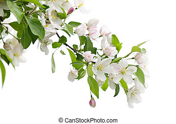 bloeien, appelboom, tak