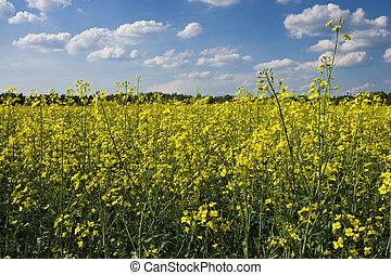 bloeien, canola, akker, onder, blauwe hemel, sereneny, dsc