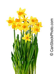 bloeien, daffodils, vrijstaand, op wit