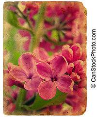 bloeien, lilac., oud, postcard.