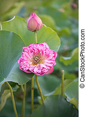 bloeien, lotus bloem