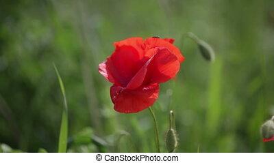 bloeien, rode poppy, tegen, een, groen gras