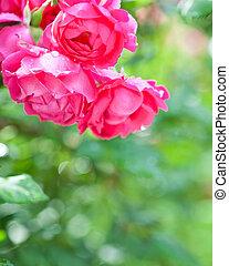 bloeien, roos struik, in, lente