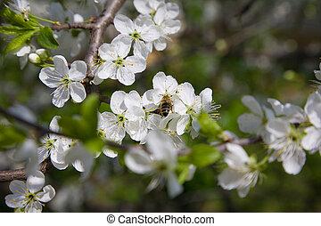 bloeien, tak, van, jasmijn