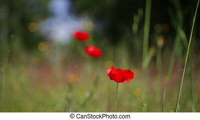 bloeien, tegen, groene, klaproos, gras, rood