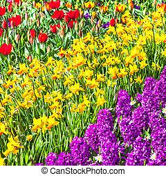 bloeien, tulpen, in, keukenhof, park, .holland
