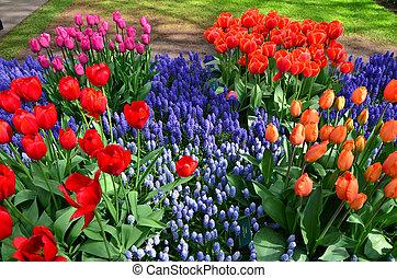 bloeien, tulpen, in, keukenhof, park, in, nederland