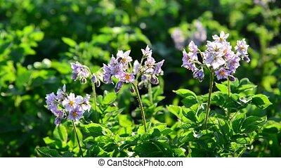 bloeiend, aardappels, in, de, zomer dag