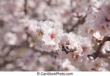 bloeiend, amandels, achtergrond