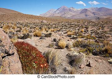 bloeiend, cactus