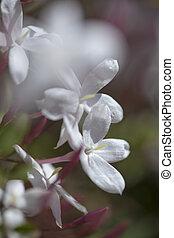 bloeiend, jasmijn, achtergrond