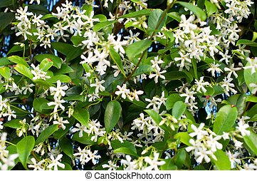 bloeiend, jasmijn