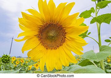 bloeiende bloem, -, zonnebloem, agriculture.