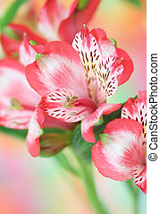 bloem, alstroemeria, rood