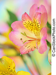 bloem, alstroemeria