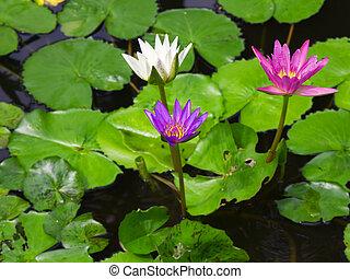 bloem, kleurrijke, lotus, loof drie, water, groene, fris, lelie