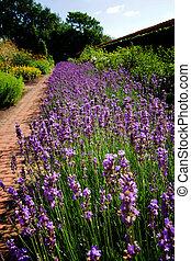 bloem, lavendel, bed, tuin