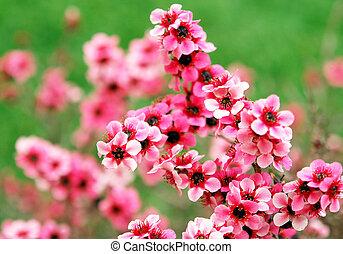 bloem, leptospermum