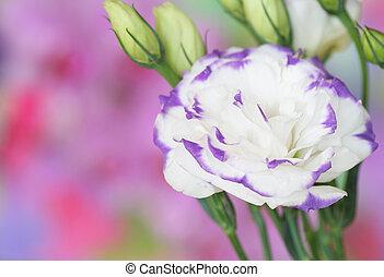 bloem, lisianthus