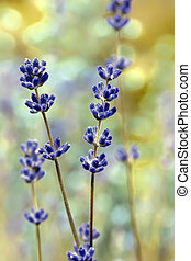 bloem, macro, lavendel, brandpunt, akker, zacht