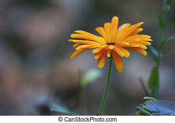 bloem madeliefje