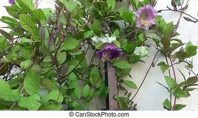 bloem, muur, bougainvillea, bloesems, paarse , witte