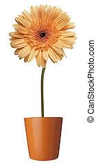 bloem, natuur, tuin, plantkunde, madeliefje, bloem, pot