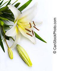 bloem, pasen, vrijstaand, achtergrond, witte lelie