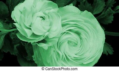 bloem, (persian, buttercup), op, timelapse, dagen, gele, ...