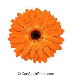 bloem, render, -, vrijstaand, madeliefje, sinaasappel, witte...