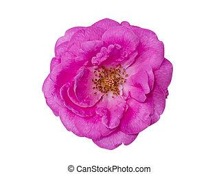 bloem, roos, damast, witte , achtergrond.