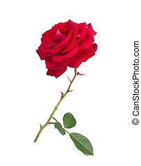 bloem, roos, rood