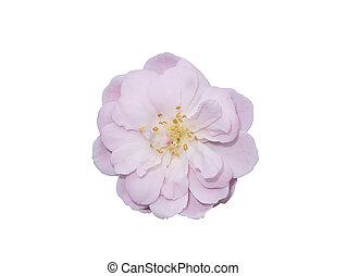 bloem, rose kwam op, damast, achtergrond, dichtbegroeid boven, isoleren, witte