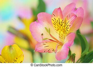bloem, roze, alstroemeria