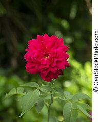 bloem, roze, damast, roos