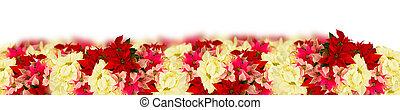 bloem, ster, poinsettia, of, scharlaken, kerstmis
