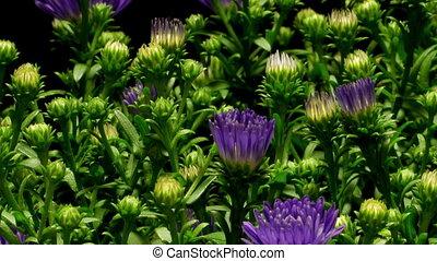 bloem, timen-afloop, paarse , aster