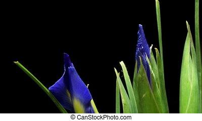 bloem, timen-afloop, paarse , iris