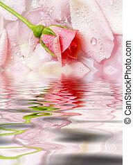 bloem, van, een, roos